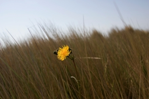 Dandelion in the dunes