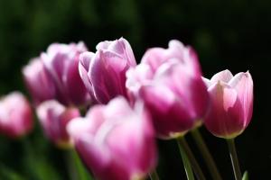 tulpen01 (1).jpg
