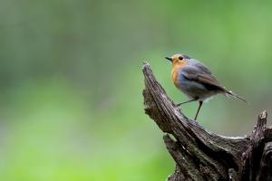 Standing Robin