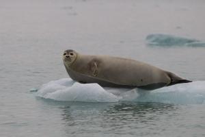 Zeehond op ijsschots