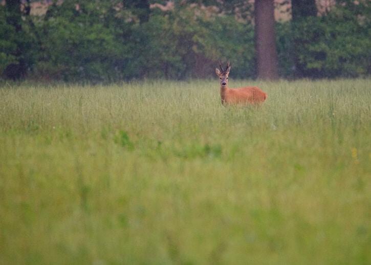 Tamron_150-600mm_test_shot_deer
