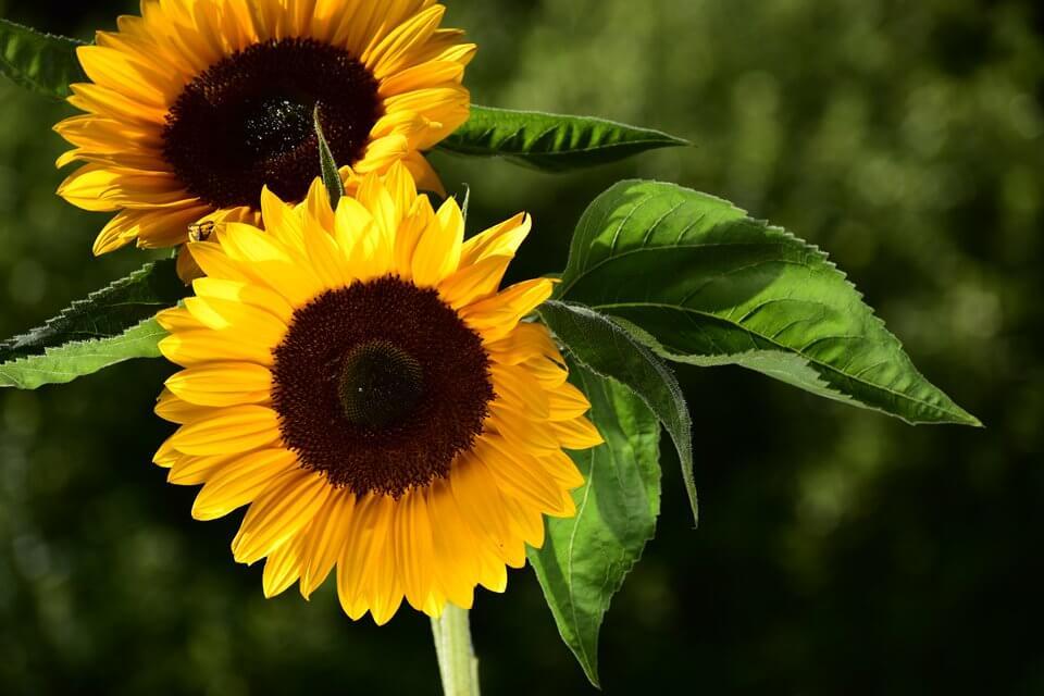 nikon_nikkor_lens_sunflowers_DX70-300mm_F45-63G_VR_04_1157_A3--sample-960-large